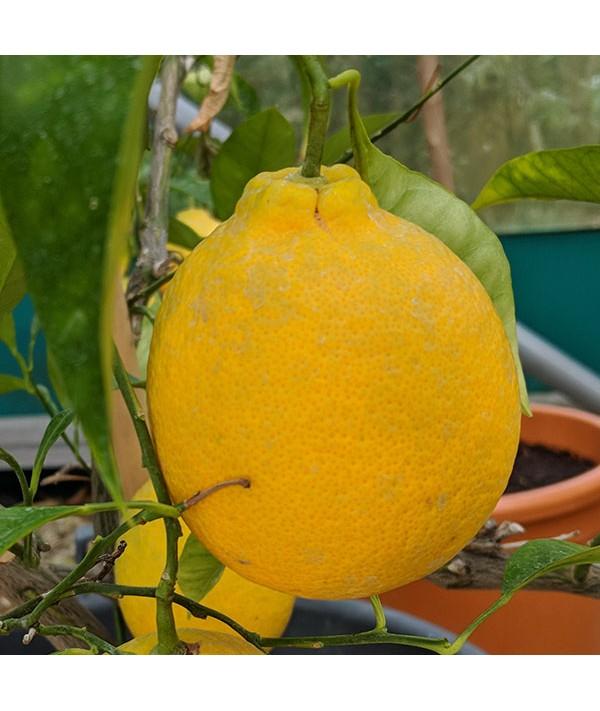 Citrus sinensis Tarocco Rosso (35lt)