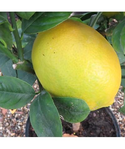 Citrus x limon Meyer (3lt)
