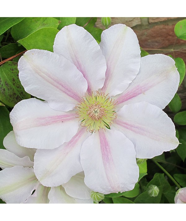 Clematis Chantilly (Evipo021) (3lt)