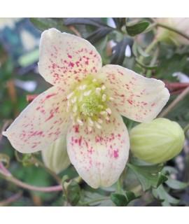 Clematis cirrhosa balearica (2lt)