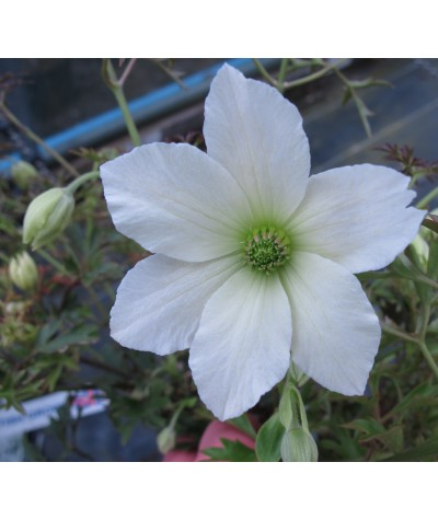 Clematis Early Sensation (2lt)
