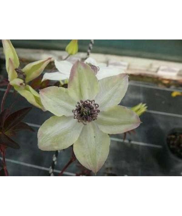 Clematis florida Pistachio (3lt)