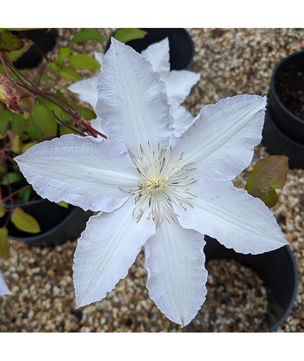 Clematis henryi (2.5lt)