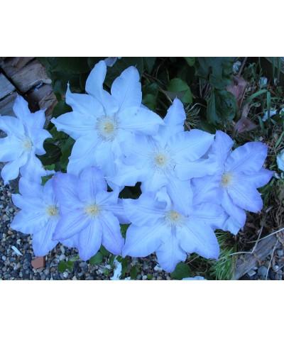 Clematis Ice Blue  (evipo003) (3lt)