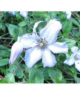 Clematis viticella Little Nell (3lt)