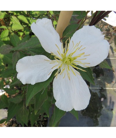 Clematis montana alba (2.5lt)