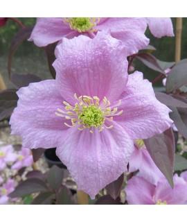 Clematis montana Fragrant Spring (2lt)