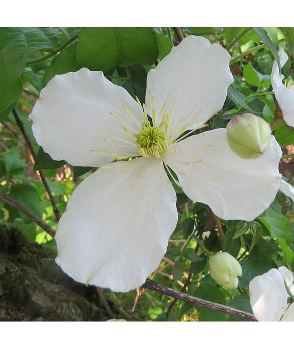 Clematis montana grandiflora (2lt)