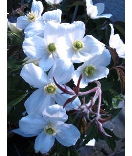 Clematis montana Miss Christine (3lt)