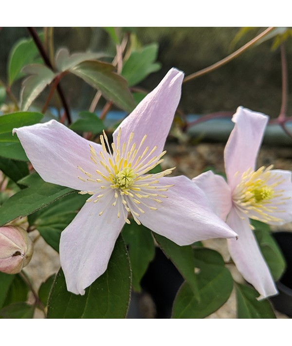 Clematis montana Pictons Variety (3lt)