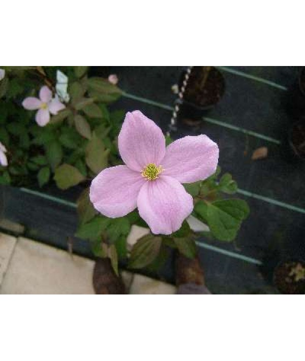 Clematis montana rubens Pink Perfection (2.5lt)
