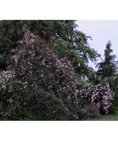 Clematis montana rubens (2lt)