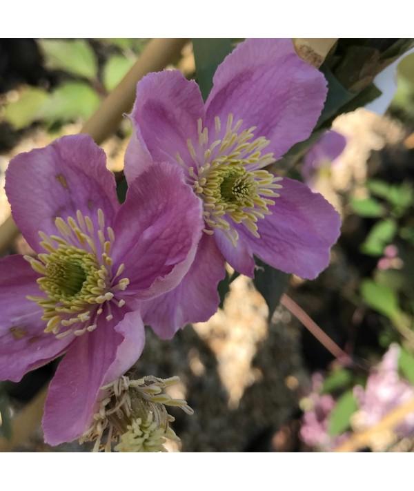 Clematis montana rubens Tetrarose (2lt)