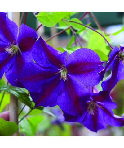 Clematis Star of India (2lt)