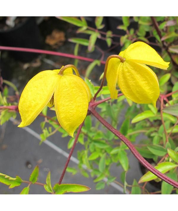 Clematis tangutica (2lt)