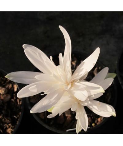 Colchicum autumnale Alboplenum (1 x Bulb)