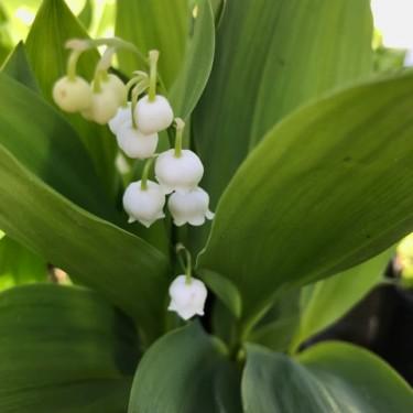 Stories from Langthorns - Convallaria majalis