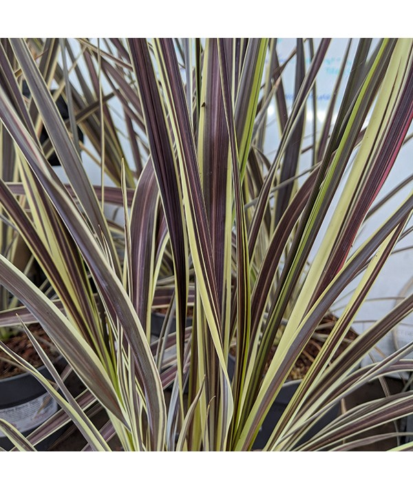 Cordyline Electric Flash (5lt)