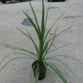 Cordyline Green Star (1.5lt)