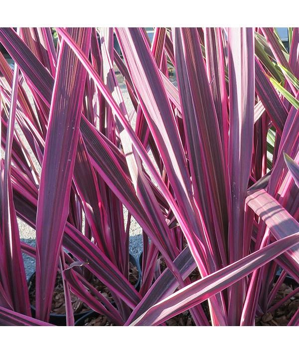 Cordyline australis Pink Passion (1.5lt)