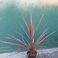 Cordyline Red Star (3lt)