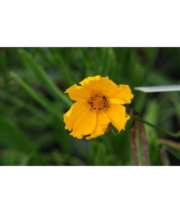 Coreopsis grandiflora Sunburst
