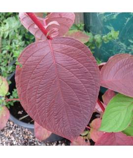 Cornus alba Sibirica (5lt)