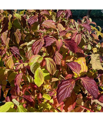 Cornus sanguinea Anny's Winter Orange (3lt)