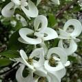 Cornus florida Urbiniana (3lt)