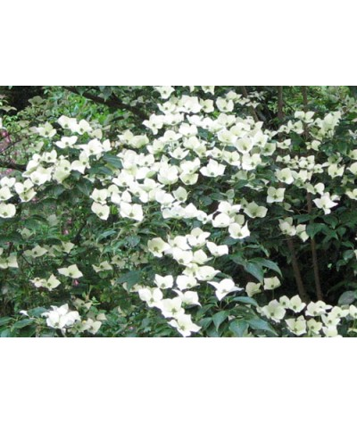 Cornus kousa chinensis China Girl (5lt)