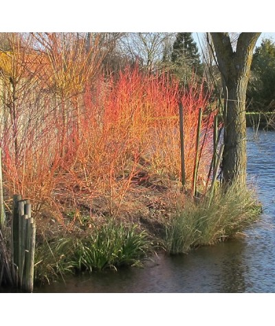 Cornus sanguinea Midwinter Fire (3lt)