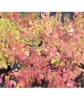 Cornus sanguinea Midwinter Fire (5lt)