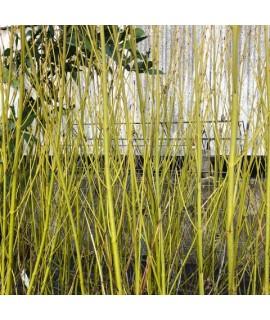 Cornus sericea Flaviramea (5lt)