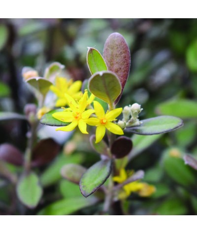 Corokia x virgata Frosted Chocolate (7.5lt)