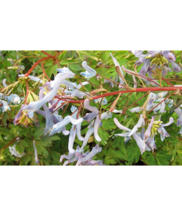 Corydalis flexuosa China Blue (1lt)
