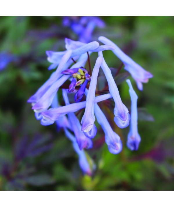 Corydalis flexuosa Purple Leaf (1lt)
