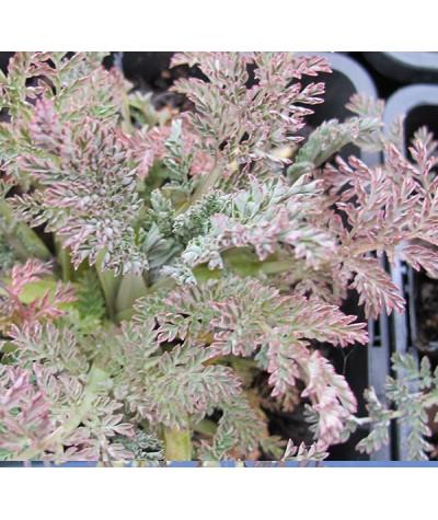 Corydalis ophiocarpa (1lt)