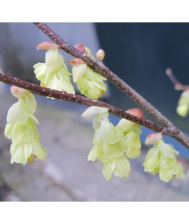 Corylopsis pauciflora (3lt)
