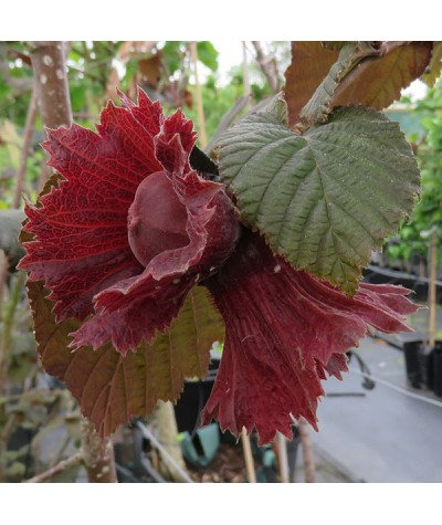 Corylus maxima purpurea (3lt)