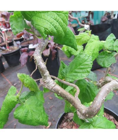 Corylus avellana contorta (7.5lt)