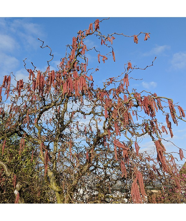 Corylus avellana Red Majestic (7.5lt)