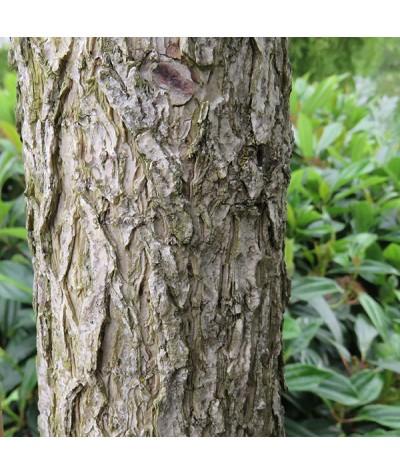 Corylus colurna (17.5lt)