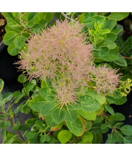 Cotinus coggygria Young Lady (7.5lt)