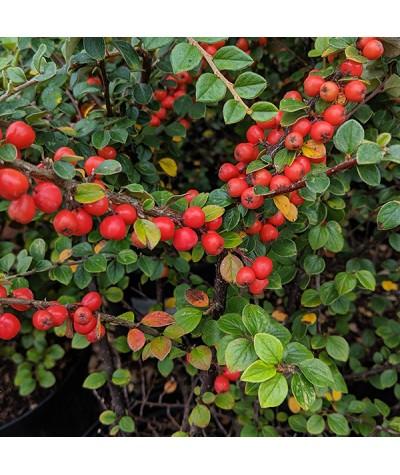Cotoneaster beimashanensis (7.5lt)