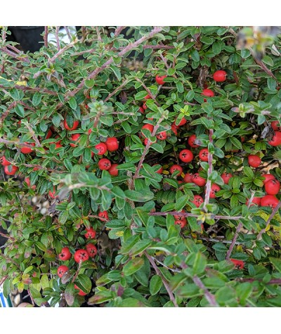 Cotoneaster conspicuus (7.5lt)