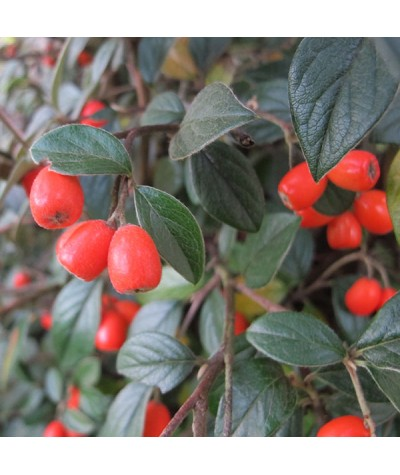 Cotoneaster franchettii (3lt)