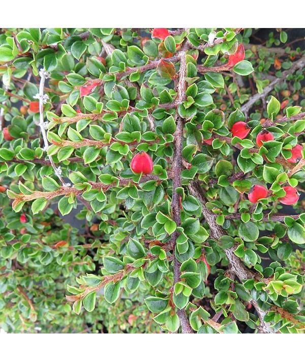 Cotoneaster horizontalis (7.5lt)