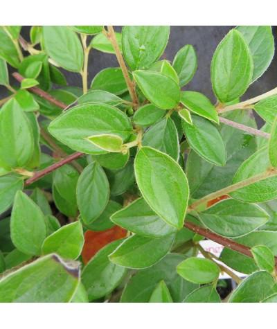 Cotoneaster huahongdongensis (2lt)