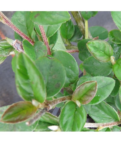Cotoneaster hylmoei (2lt)
