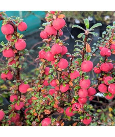 Cotoneaster integrifolius (3lt)